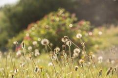 Eine Sommerwiese, die künstlerisch mit wilden Blumen und Löwenzahn verwischt wurde, hob durch die Abendsonne hervor stockfotos