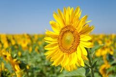 Eine Sonnenblume Stockfotografie