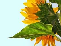 Eine Sonnenblume Lizenzfreies Stockfoto