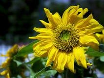 Eine Sonnenblume lizenzfreie stockfotografie