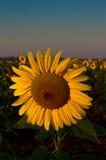 Eine Sonnenblume Stockfotos