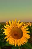 Eine Sonnenblume Lizenzfreies Stockbild