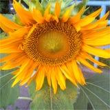 Eine Sonnenblume beugt Lizenzfreie Stockfotografie