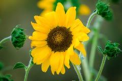 Eine Sonnenblume, die den sonnigen Tag genießt stockfoto