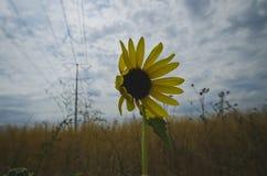 Eine Sonnenblume, die im Wind unter den Stromleitungen durchbrennt lizenzfreies stockfoto