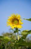 Eine Sonnenblume im garden3 Stockfotografie