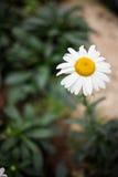 Eine Sonnenblume mit unscharfem Hintergrund Stockbilder