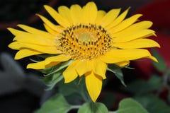 Eine Sonnenblume in unserem Garten Lizenzfreie Stockfotografie