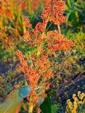 Eine Sorghum-Einzelpflanze Lizenzfreie Stockfotos