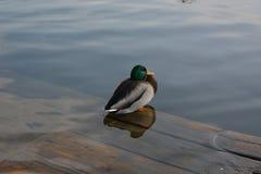 Eine spezielle Ente Lizenzfreie Stockfotografie