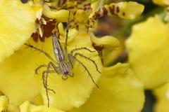 Eine Spinne auf Orchidee Stockfotos