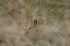 Eine Spinne auf seinem Web. Stockfoto