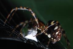 Eine Spinne, die einen Kokon über irgendeinem gefangengenommenem Opfer spinnt stockfoto