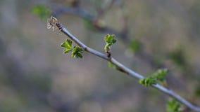 Eine Spinne, die im Frühjahr ein Netz auf einem Brunch macht stock video footage