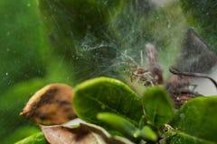 Eine Spinne, die innerhalb seines Netzes auf einem Blatt steht Lizenzfreies Stockfoto