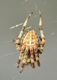 Eine Spinne in ihrem Netz Stockfoto