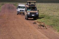 Eine spottet Hyäne, welche die Straße kreuzt Lizenzfreies Stockfoto