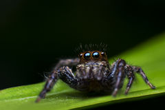Eine springende Spinne auf einem Blatt Stockfoto