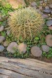 Eine stachelige Kaktusanlage in einem Garten Stockfotos