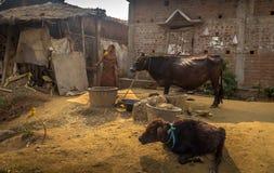 Eine Stammes- Frau bei der Fütterung ihr des Viehs an einem ländlichen Dorf Stockfotografie