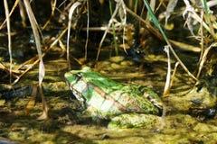 Eine starke grüne Kröte, die in einem Teich sitzt lizenzfreie stockbilder