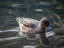 Eine Stelle berechnete Ente in einem japanischen Teich 3 lizenzfreie stockfotos