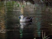 Eine Stelle berechnete Ente in einem japanischen Teich 4 lizenzfreies stockfoto