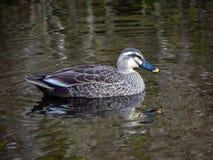 Eine Stelle berechnete Ente in einem japanischen Teich 5 lizenzfreie stockbilder