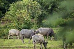 Eine Stellung wundern noch sich den Büffel, der zur Kamera schaut Lizenzfreies Stockbild