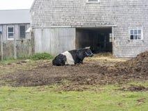 Eine stillstehende umgeschnallte Galloway-Kuh lizenzfreie stockbilder