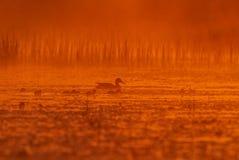 Eine Stockente auf Sonnenaufgang mit Entlein Stockbild