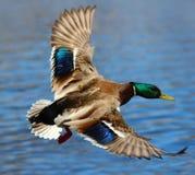 Eine Stockente Duck Flying Over Water Lizenzfreies Stockfoto