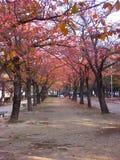 Eine Straße gezeichnet mit Ahornholzbäumen Stockfoto
