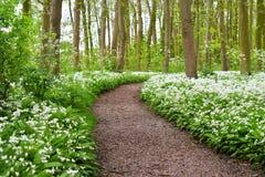 Eine Straße im Wald und im blühenden wilden Knoblauch Lizenzfreie Stockfotos