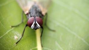 Eine Stubenfliege, die auf Blatt mit extremer Makrophotographie sitzt stockbild