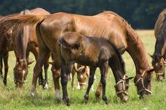 Eine Stute und ein Fohlen Stockbild