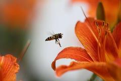 Eine syrphus Fliege Stockbilder