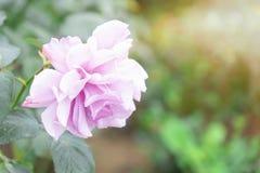 Eine szenische rosa rosafarbene Knospe, die jetzt geschlossen ist und sich nicht noch öffnete stockbilder