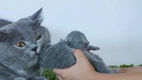 Eine-Tag-alt Kätzchen nettes in menschlichen ` s Händen stock video footage
