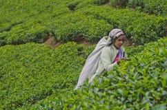 Eine Tamilfrau von Sri Lanka bricht Teeblätter Stockfotografie
