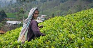 Eine Tamilfrau von Sri Lanka bricht Teeblätter Lizenzfreie Stockfotos