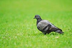 Eine Taube auf dem grünen Hintergrund Stockfotografie