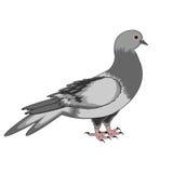 Eine Taube auf einem weißen Hintergrund Stockbild