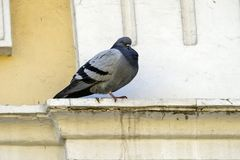 Eine Taube in der städtischen Umwelt auf einem Gebäude Lizenzfreie Stockbilder