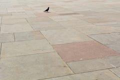 Eine Taube, die allein geht Stockbild