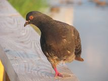 Eine Taube, die auf einem Bein steht Stockfotografie