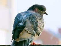 Eine Taube hat auf Balkon gesessen Stockbild
