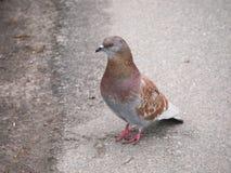 Eine Taube im Park Stockbilder