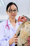 Eine tierärztliche Doktorprüfung Stockfoto