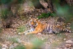 Eine Tigerhaltung Stockfotos